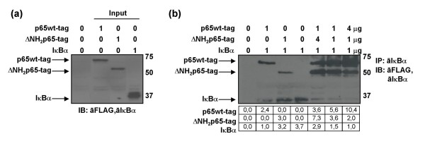 Binding affinity assay of p65wt-tag and ΔNH 2 p65-tag to IκBα by using in vitro translated proteins . (a) One microgram of in vitro translated p65wt-tag, ΔNH 2 p65-tag and IκBα were analyzed by immunoblotting using the anti-FLAG tag M2 mAb and an antibody against IκBα. (b) The immunoprecipitation assays of p65wt-tag and ΔNH 2 p65-tag proteins – alone or combined at different rates – were carried out using a polyclonal antibody against IκBα. Immunoblotting was performed with monoclonal antibodies anti-FLAG and anti-IκBα (10B). Gel bands were quantified by densitometry and background noise was subtracted from the images. Relative ratio of optical density units was calculated regarding to the gel band with less optical density for each condition.