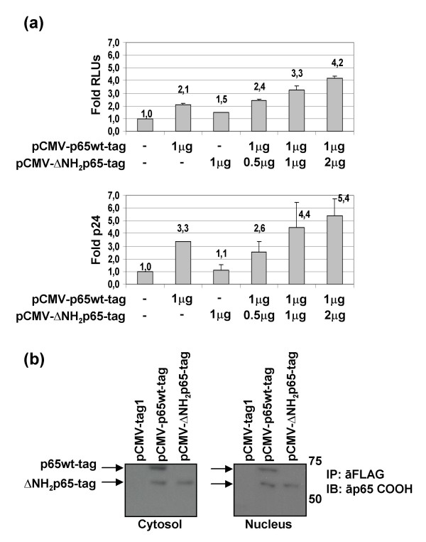 Increase of HIV-1 replication in resting PBLs after over-expression of ΔNH 2 p65-tag . (a) Resting PBLs were transfected with pNL4.3-Renilla (a) or pNL4.3-wt (b) vectors together with pCMV-p65wt-tag and pCMV-ΔNH 2 p65-tag expression vectors, separately or in ratio 2:1, 1:1, and 1:4. Cells were maintained in culture in the absence of activation for 72 hours and then HIV-1 replication was assessed by quantification of Renilla RLUs in whole protein extracts or HIV-1 p24-gag antigen in culture supernatants. Internal control of transfection was carried out by co-transfection of the pSV-β-Galactosidase vector. Data correspond to the mean of three different experiments and lines on the top of the bars represent the standard deviation. (b) Two hundred micrograms of cytosolic and nuclear extracts from resting PBLs transfected with the control plasmid pCMV-Tag1 or pCMV-p65wt-tag and pCMV-ΔNH 2 p65-tag expression vectors were analyzed by immunoprecipitation with the anti-FLAG tag M2 mAb and subsequent immunoblotting with an antibody against the carboxy terminus of p65/RelA.