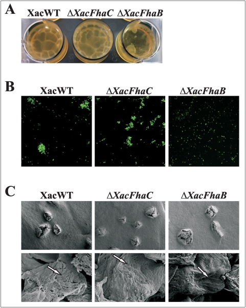 Biofilm formation of X. axonopodis pv. citri wild type and Δ XacFhaB and Δ XacFhaC strains. (A) Representative photograph of the biofilms formed by the gfp -expressing XacWT, Δ XacFhaB and Δ XacFhaC strains grown statically in 12-well PVC plates with SB medium. (B) Representative photographs of confocal laser scanning microscopy of the bacterial strains grown as in A. Magnification 100×. (C) Representative photographs of scanning electron microscopy of the different strains inoculated at a concentration of 10 5 cfu/ml and grown for a period of 20 days in orange leaves. The upper panels shown the cankers formed by XacWT, Δ XacFhaB and Δ XacFhaC at 153× magnification, the lower panels correspond to a higher magnification (10000×). Arrows indicate the different arrays of cells.