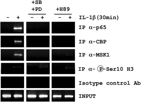 Effect of MAP kinase and MSK1 inhibitors on IL-1β-induced p65, MSK1 and CBP binding to the κB site of the SCF intronic enhancer. Human lung fibroblasts in culture were pre-incubated for 1 h with a combination of the p38 inhibitor SB202190 (SB; 3.5 µM) and the MEK inhibitor PD98059 (PD; 20 µM) or with the MSK1-PKA inhibitor H89 (10 µM) and treated with IL-1β (20 U/ml) for 30 min. The ChIP experiment was performed with anti-p65, MSK1, CBP, phospho-Ser10 histone H3 and control Ig antibodies. Co-immunoprecipitated genomic DNA fragments were amplified by PCR with SCF intronic enhancer-specific primers. Input reflects the relative amounts of sonicated DNA fragments before immunoprecipitation. Results are representative of 3 independent experiments performed in fibroblasts from 3 different donors.