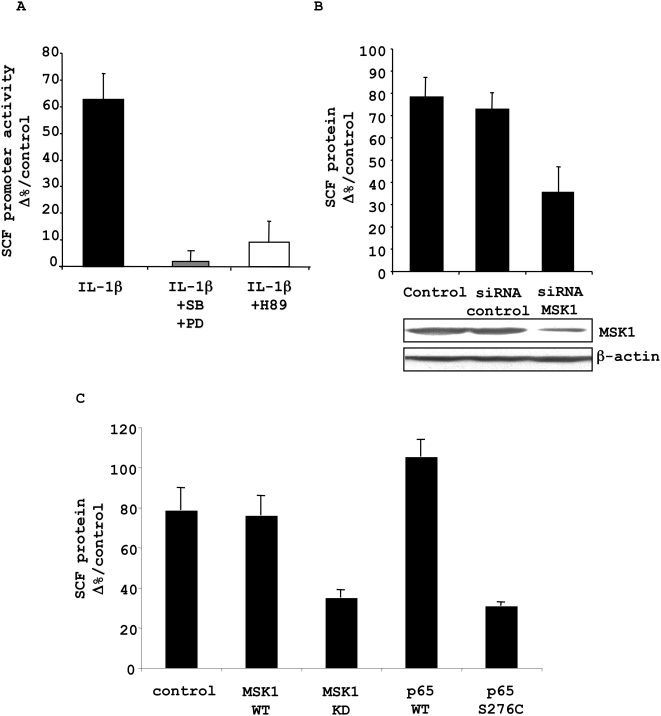 "Effect of MSK1-mediated p65 Ser276 phosphorylation in IL-1β-induced SCF expression. A. Human lung fibroblasts in culture were transiently co-transfected with the pGL3e/SCF firefly luciferase construct and a Renilla luciferase construct (pRL-TK) as an internal control. Cells were pre-incubated for 1 h with a combination of SB202190 (SB; 3.5 µM) and PD98059 (PD; 20 µM) or with H89 (10 µM) and treated with IL-1β (20 U/ml). After 150 min, cells were harvested for luciferase activity measurement. The results are expressed as the level of pGL3e/SCF constructions' promoter-driven firefly luciferase expression after correcting for the transfection efficiency by pRL-TK luciferase measurements and represented as a percentage of control values. B. Fibroblasts were transfected with control and anti-MSK1 siRNA (100 nM), or transfection medium alone (control). After 48 hours, inhibition of MSK1 with siRNA was controlled by Western blotting in the cell lysate, using anti-MSK1, with anti-β-actin antibodies as a deposit control. Cells were treated with IL-1β (20 U/ml). SCF protein levels were assessed in the supernatant 5 hours after treatment by ELISA. C . Fibroblasts were transfected with WT or ""kinase-dead"" (KD) MSK1 plasmid (1 µg), WT or S276C p65 plasmids or transfection medium alone (control), and treated with IL-1β (20 U/ml). SCF protein levels were assessed by ELISA in the supernatant obtained 5 hours after treatment. Results are expressed as percentages of control values of three independent experiments performed in fibroblasts from three different donors."