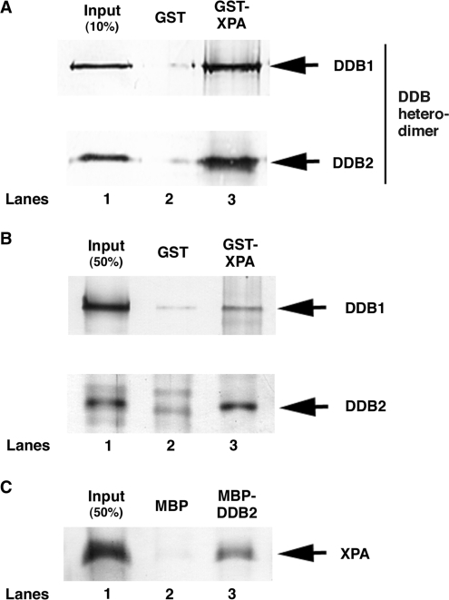 DDB directly binds to XPA through DDB2 subunit. Purified DDB heterodimer ( A ) or each DDB subunit ( B ) was incubated with GST alone (lane 2) or GST-XPA (lane 3) coupled to glutathione–sepharose 4B beads. The bound proteins were separated on a SDS–polyacrylamide gel and analyzed by western blotting with anti-Flag antibody for detecting DDB1 and DDB2. ( C ) Purified (His) 6 -XPA protein was incubated with MBP alone (lane 2) or MBP-DDB2 (lane 3) coupled to amylose beads. The bound proteins were analyzed by western blotting with anti-His antibody.