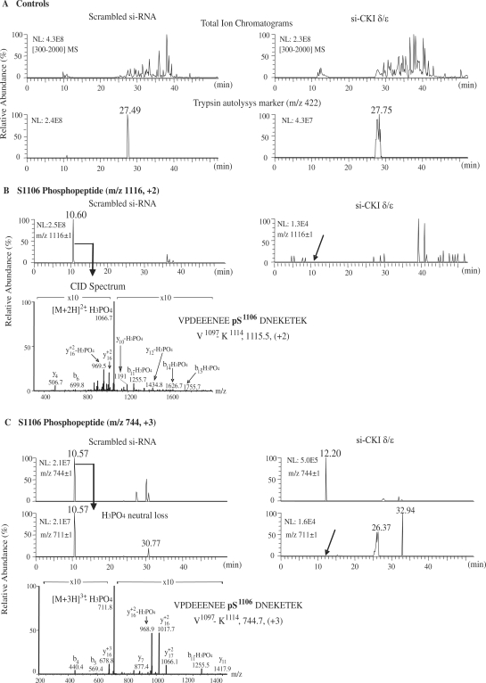 Peptides containing phosphorylated Ser-1106 are not detected by LC-MS analysis of topo IIα from si-CKIδ/ɛ transfected HCT-116 cells. HCT-116 cells were transfected with scrambled si-RNA or si-CKIδ/ɛ. Topo IIα protein present in these cells was purified by immunoprecipitation and SDS–PAGE. The stained topo IIα band in the gel was digested with trypsin and the peptides were analyzed by LC–MS as described in Materials and methods section. ( A ) Total ion chromatograms (upper panel) and trypsin autolysis marker at m/z 422 (lower panel) of topo IIα tryptic digests from cells transfected with scrambled si-RNA or si-CKIδ/ɛ. ( B ) SRM chromatograms for the doubly charged peptide ion containing phosphorylated Ser-1106 at m/z 1116 (upper panel) and CID spectrum of doubly charged peptide ion (lower panel) containing phosphorylated Ser-1106 in topo IIα, detected only in samples treated with scrambled si-RNA. ( C ) SRM chromatograms for the triply charged peptide ion containing phosphorylated Ser-1106 at m/z 744 (upper panel) and characteristic H 3 PO 4 neutral loss for the m/z 744 (+3) phosphorylated peptide (middle panel). CID spectrum of triply charged peptide ion (lower panel) containing phosphorylated Ser-1106 in topo IIα was detected only in samples treated with scrambled si-RNA. Characteristic loss of H 3 PO 4 is seen in both CID spectra. Detected b (N-terminal) and y (C-terminal) fragment ions are labeled in the spectra.