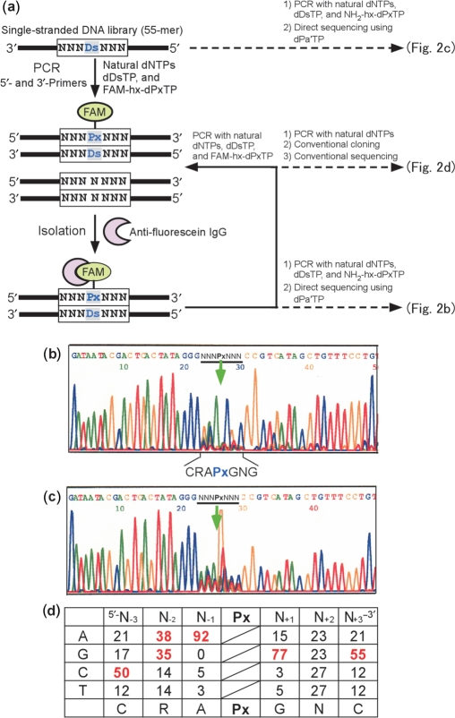 Overview of in vitro selection using a Ds -containing DNA library. ( a ) Scheme for in vitro selection using the Ds -containing DNA library, by FAM-hx- Px incorporation into PCR products and isolation with an anti-fluorescein antibody. A chemically synthesized, single-stranded DNA library containing an NNN Ds NNN sequence (55-mer) was amplified by 10 cycles of PCR, in the presence of natural dNTPs, d Ds TP and FAM-hx-d Px TP, with DeepVent DNA Pol. After selection of the PCR products containing FAM-hx- Px by binding with an anti-fluorescein antibody, the isolated DNA fragments were used as a template for the next round of PCR amplification and selection. For direct sequencing of the library after five rounds of selection, the isolated DNA fragments were amplified in the presence of NH 2 -hx-d Px TP, instead of FAM-hx-d Px TP ( Figure 3 a), by eight cycles of PCR. Direct sequencing was performed in the presence of 2 μM d Pa′ TP, using a BigDye terminator v1.1 Cycle Sequencing kit. For the sequencing of clones after five rounds of selection, the library was amplified in the presence of only the natural dNTPs with Taq DNA polymerase, and the PCR products were used for TOPO TA cloning. ( b ) Sequencing of the DNA library after five rounds of selection. ( c ) Sequencing of the initial library. The arrow indicates the unnatural base position. ( d ) Probability (%) of occurrence at each position of the selected 66-clone sequences ( Supplementary Figure 1 ). Bases with an occurrence rate of ≥35% among the clones are colored red.