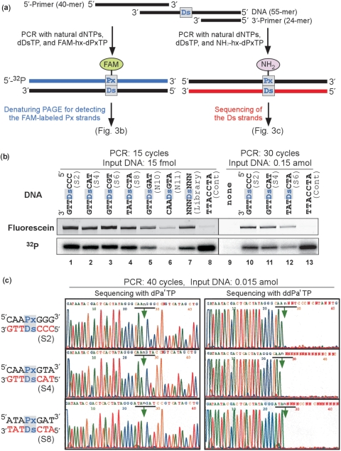 PCR amplification of DNA fragments (55-mer) containing one Ds base. ( a ) Scheme for PCR amplification in the presence of FAM-hx-d Px TP or NH 2 -hx-d Px TP with DeepVent DNA Pol. To detect DNA fragments containing FAM-hx- Px , the PCR products were analyzed by denaturing PAGE. DNA fragments amplified with NH 2 -hx-d Px TP and d Ds TP were used for sequencing of the Ds strands. ( b ) Polyacrylamide-gel analysis of the DNA fragments amplified by 15 or 30 cycles of PCR with the 32 P-labeled 5′-primer, in the presence of FAM-hx-d Px TP and d Ds TP. The fluorescence of the FAM-labeled full-length products on a gel was detected with a bio-imaging analyzer, FLA-7000, and the radioactivity of the full-length products on the same gel was analyzed by autoradiography. The fold amplification of each DNA fragment is summarized in Table S3. ( c ) Sequencing of the 40-cycle amplified DNA fragments, in the presence of d Pa′ TP (2 μM) or dd Pa′ TP (50 μM). The arrows indicate the unnatural base position.