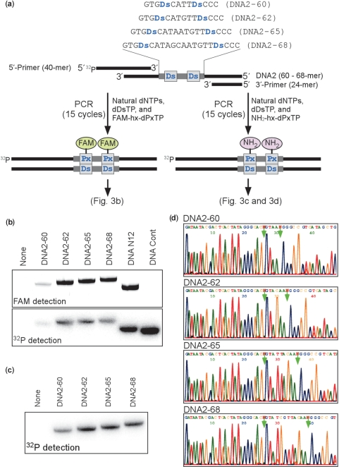 PCR amplification of DNA fragments containing two Ds bases (60-, 62-, 65- or 68-mer). ( a ) Scheme for the PCR amplification in the presence of FAM-hx-d Px TP or NH 2 -hx-d Px TP with DeepVent DNA Pol. The amplified DNA fragments containing FAM-hx- Px were detected by denaturing PAGE. ( b ) Polyacrylamide-gel analysis of the PCR products amplified by 15 cycles of PCR with the 32 P-labeled 5′-primer, in the presence of FAM-hx-d Px TP and d Ds TP. The fluorescence of the FAM-labeled full-length products on the gel was detected with an FLA-7000 bio-imager, and the radioactivity of the full-length products on the same gel was analyzed by autoradiography. ( c ) Polyacrylamide-gel analysis of the PCR products amplified by 15 cycles of PCR with the 32 P-labeled 5′-primer, in the presence of NH 2 -hx-d Px TP and d Ds TP. ( d ) Sequencing of the 15-cycle amplified DNA fragments, in the presence of d Pa ′TP (50 μM). The PCR products amplified in the presence of NH 2 -hx-d Px TP and d Ds TP were used for sequencing of the Ds -strands. The arrows indicate the unnatural base position.