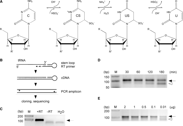 Establishment of RNA bisulfite sequencing. ( A ) Schematic diagram of the bisulfite conversion reaction. C, cytidine; CS cytidine sulfonate; US, uridine sulfonate; U, uridine. ( B ) Outline of the basic strategy to analyze tRNA for m5C methylation. Bisulfite-treated tRNAs are reverse transcribed using a tRNA 3′-sequence-specific stem–loop primer, amplified with primers binding only to deaminated sequences at the 5′ end, followed by standard cloning and sequencing. ( C ) As an example, in vitro transcribed tRNA Asp served as template for cDNA synthesis. RT, reverse transcriptase; arrow, tRNA amplicon. ( D ) Increasing deamination times lead to degradation of tRNA Asp . Equal amounts of cellular RNA (1 μg) were subjected to deamination for the time indicated, followed by cDNA synthesis and PCR amplification. ( E ) Dilution series of total RNA subjected to bisulfite treatment, followed by cDNA synthesis and PCR amplification of tRNA Asp . Ten nanograms of cellular RNA are sufficient to amplify bisulfite-treated tRNA Asp (32 amplification cycles). Arrow, tRNA amplicon; open arrowhead, aberrant PCR amplicon.