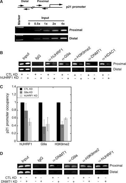 hUHRF1 recruits G9a and other chromatin modification enzymes to p21 promoter. ( A ) Linearity of PCR amplification using primer sets for proximal (−385 to −240) and distal (−4164 to −3959) regions of p21 promoter with increasing amount of input DNA. ( B ) ChIP analysis of p21 promoter after KD of hUHRF1. HeLa cells were transfected with either control siRNA (CTL KD) or hUHRF1 siRNA (hUHRF1 KD). Using the chromatin isolated from the KD cells, ChIP was performed to detect the proteins or histone modification as indicated at the top of the panel. 5% input is shown. ( C ) Quantitative ChIP analysis for relative p21 promoter occupancy of hUHRF1, G9a and dimethylated H3K9 (H3K9me2) after KD of hUHRF1 or G9a. Q-PCR data of each group were normalized to its input as % input. The relative p21 promoter occupancy of hUHRF1 or G9a KD samples represents the fold change in percentage input over that of the CTL KD. Error bars indicate standard deviation of three independent experiments. ( D ) ChIP analysis of p21 promoter after KD of DNMT1. HeLa cells were transfected with either control siRNA (CTL KD) or DNMT1 siRNA (DNMT1 KD). CHIP was performed as described in (B) and 5% input is shown.