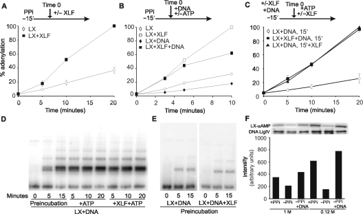 XLF stimulates ligase IV re-adenylation following ligation. ( A ) LX was treated with pyrophosphate (PPi) for 15 min at room temperature. Following dialysis, 1 pmol LX was incubated with α- 32 P-ATP with or without 5 pmol XLF. XLF stimulated LX adenylation activity 2.5-fold. Results and error bars are the mean and SD of two experiments. ( B ) Following PPi treatment and dialysis, 1 pmol LX was incubated with α- 32 P-ATP, with or without 30 pmol XLF and 0.2 pmol DNA ends. ( C ) One picomole LX was incubated with 0.2 pmol DNA ends for 15 min to allow ligation and hence de-adenylation. α- 32 P-ATP was then added with or without 5 pmol XLF. XLF enhanced adenylation 3-fold. Whether XLF was present or absent during the pre-incubation step did not change the level of adenylation. Results are the mean and SD of two experiments. ( D ) Samples treated as in (C) were examined for ligation by gel electrophoresis. Ligation occurred during the preincubation step and peaked by 15 min. ( E ) Total 0.2 pmol LX were incubated with 0.8 pmol DNA ends with or without 1 pmol XLF without ATP for 15 min. Samples were examined for ligation. XLF did not impact upon the level of ligation. ( F ) Two milligrams WCE from human pre-B control cells (Nalm6) were immunoprecipitated with α-XRCC4 antibodies, split in half and washed either in buffer containing 1 or 0.12 M NaCl. Samples were treated with or without PPi in the presence or absence of ∼35 pmol DNA ends and were examined for adenylation activity. LX-αAMP is the adenylated LX complex. Immunoprecipitated samples were subjected to immunoblot analysis using α-DNA ligase IV antibodies. The graph shows arbitrary units of intensity of adenylation normalized to protein levels.