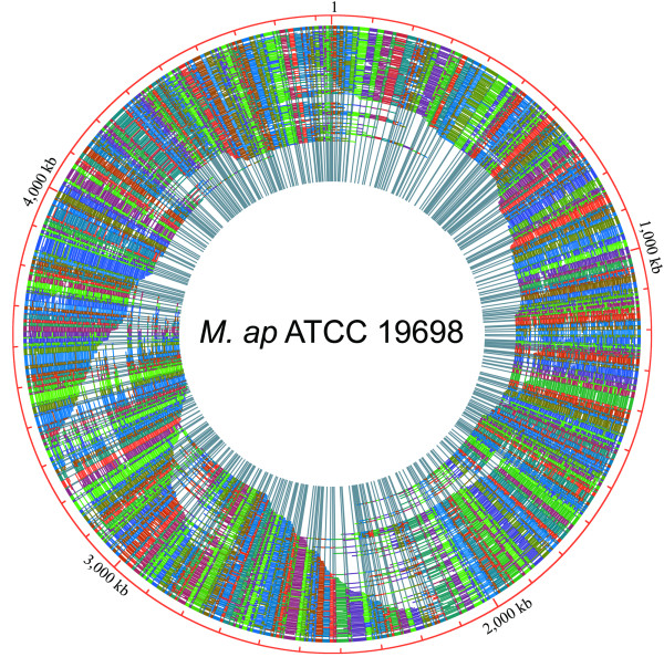 A high-resolution optical map of M. ap ATCC 19698 . Genomic DNA of M. ap ATCC 19698 was mounted on derivatized glass using a microfluidic device and digested with Bsi WI. Fragment images were collected and processed by an automatic data acquisition system. A total of 970 optical contigs were assembled into one circular consensus map, giving an approximately 82-fold genome coverage. Optical contigs are represented by arcs of various lengths. Each arc is intersected by radiating lines that represent Bsi WI cutting sites, and arbitrary colors represent homologous overlapping fragments.