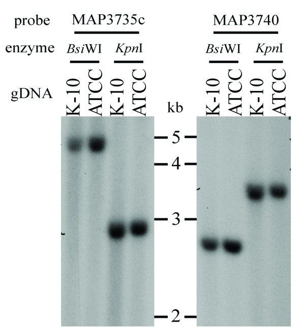 Southern blotting analysis of the M. ap genomes . Genomic DNA from the two strains were digested with either Bsi WI or Kpn I, and subsequently probed with labeled fragments indicated in blue boxes, in supplementary Figure Two in Additional file 1 . Note the equal size of restriction fragments detected in both genomes with either probes.