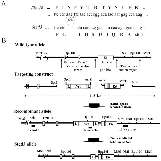 Gene-targeting strategy for generation of Stgd3 -gene knockin mice. A : Partial nucleotide sequence from exon 6, and the encoded amino acids (capital letters), of the wt ( Elovl4 ) and mutant ( Stgd3 ) alleles. Shown are the mutations introduced into the Elovl4 sequence prior to assembly of the targeting construct. Five nucleotide base pairs, corresponding to those absent in Stargardt-3 patients, were deleted (del). Two point mutations (the altered and substituted nucleotides are shown in blue) were introduced in the sequence downstream of the deletion to generate a new C-terminal sequence that is identical to that found in STGD3 patients. B : Schematic maps of a portion of the Elovl4 allele encompassing exons 4, 5, and 6, the targeting construct, recombinant allele and the final Stgd3 allele. Restriction sites used for cloning and for Southern blot verification of recombination and deletion events, as well as the location of the Southern probes are included. Mutations in exon 6 are shown schematically as a shaded box, within which the new Bpu 10I restriction site introduced during sequence manipulation is shown. Homologous recombination of the 11.5-kb targeting construct generates a recombinant allele containing exon 6 with the Stgd3 mutation, a neomycin selection cassette ( Neo ) flanked by lox P sites (L), and 4.2 kb and 3.1kb of 5'- and 3'-targeting sequence, respectively. Breeding of recombinant Neo/wt mice with Cre -transgenic mice leads to Cre-mediated deletion of the Neo cassette and generation of the mice carrying the final Stgd3 allele.