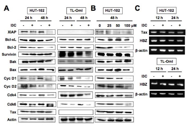 Effects of I3C on the expression of cell-cycle and apoptosis regulatory proteins . Western blot analysis of HUT-102 and TL-OmI cells treated with I3C. (A) Cells were treated with I3C (100 μM) for the indicated periods. (B) Cells were treated with I3C at the indicated concentrations for 48 h. Total cellular proteins (20 μg per lane) were separated on SDS-polyacrylamide gels and transferred to the membrane. Protein levels were detected by Western blotting with antibodies directed against each protein. (C) Total <t>RNA</t> was extracted from HUT-102 and TL-OmI cells following treatment with I3C (100 μM) for 12 or 24 h. The mRNA expression of Tax and HBZ was analyzed by <t>RT-PCR</t> analysis. β-actin served as an internal control in the RT-PCR procedure. Representative data of three experiments with similar results.