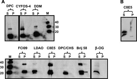 Solubility screen of hCD81 extracted from P. pastoris membranes. Both the micelle-bound solubilized proteins in the supernatant (S) and the non-solubilized proteins in the membrane pellet (P) were detected with an anti-hCD81 monoclonal antibody. Lane 1: n -dodecylphosphocholine (DPC), lane 2: cyclofos-4 (CYFOS-4), lane 3: n -dodecyl-β- d -maltopyranoside (DDM), lane 4: foscholineiso9 (FCI09), lane 5: lauryldimethylamine oxide (LDAO), lane 6: pentaethyleneglycol- n -octyl ether (C8E5), lane 7: n DPC-cholesterolhemisuccinate (DPC/CHS), lane 8: docosaethyleneglycolmonohexadecylether (Brij 58), lane 9: n -octyl-β- d <t>-glucopyranoside</t> <t>(β-OG)</t> (A). Repeat solubilization with C8E5. Both the micelle-bound solubilized proteins in the supernatant (S) and the non-solubilized proteins in the pellet (P) are shown (B). Samples were not exposed to any reducing agents. Molecular weights are in kDa.