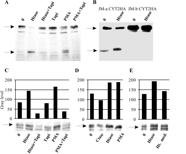 A) The effects of heparitinase and PMA can be reverted by adding 40 μM TAPI-0 to the incubation medium . MCF-7 cells were treated for 30 minutes and Triton-X100 soluble lysates containing 40 μg protein were subjected to immunoblot. The position of full length ErbB4 protein and ErbB4 80 kDa fragment as detected by the polyclonal sc-283 anti ErbB4 antibody are indicated by arrows. B) The effect of heparitinase is specific for TACE-cleavable (JM-a) ErbB4 isoform. MCF-7 cells were transiently transfected with ErbB4 JM-a CYT2HA or JM-b CYT2HA gene construct. Lysates were subjected to immunoblot with HA-specific monoclonal antibody. C) The effect of heparitinase treatment could be demonstrated in T47D cells treated similarly to MCF-7 cells. D) Degradation of chondroitin sulfate did not increase the formation of ErbB4 80 kDa fragment in T47D cells. E) Heat inactivated incubation medium from heparitinase treatment of T47D cells had only small effect on ErbB4 80 kDa fragment formation. The intensity of the ErbB4 80 kDa fragment staining as indicated in C and D was quantified with ImageJ software vs. 1.38 (NIH, USA). Beta-actin was used as load control (not shown). Abbreviations: Htase, heparitinase; Ctase, chondroitinase, PMA, phorbol myristyl acetate. Ht med. heat inactivated heparitinase incubation medium. The images are representative of at least three independent analyses.
