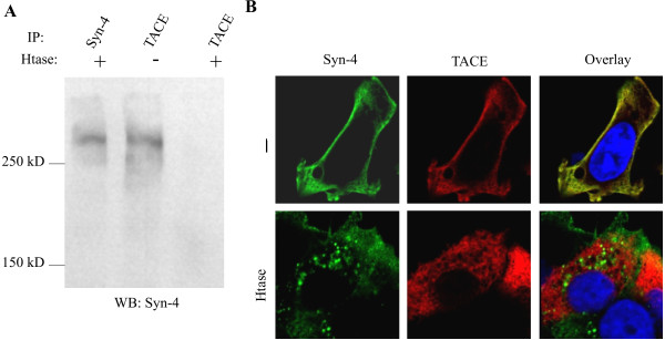A) TACE antibody was shown immunoprecipitate Syndecan-4 shown as high molecular weight smear in immunoblot by anti Syndecan-4 . The co-immunoprecipitation was abolished by heparitinase treatment. B) Syndecan-4 and TACE colocalize in MCF-7 cells. The colocalization is disrupted by heparitinase treatment.
