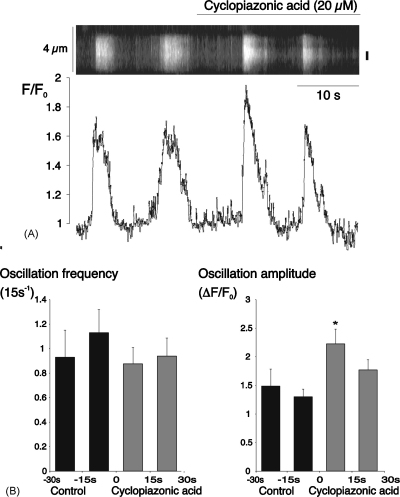 Cyclopiazonic acid initially increased the amplitude of spontaneous Ca 2+ -oscillations. (A) Linescan and normalized fluorescence plot for an arteriolar myocyte under control conditions and during superfusion with cyclopiazonic acid (20 μM). (B) Summary data (mean + S.E.M.) from 35 cells for 4 consecutive 15 s periods from 30 s before to 30 s after the start of superfusion with cyclopiazonic acid ( * P