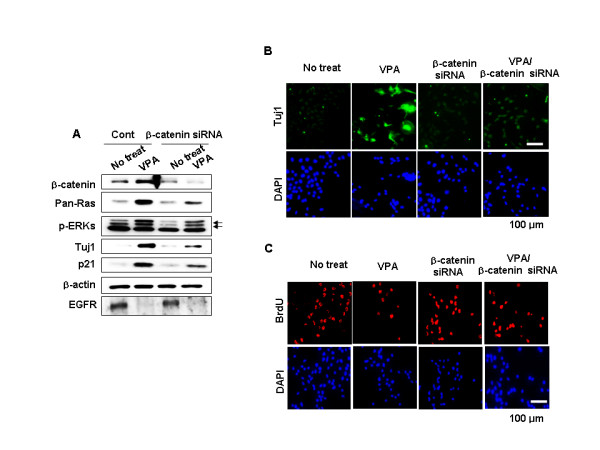 Effects of β-catenin knockdown on Ras-ERK pathway activation and VPA-induced differentiation and inhibition of proliferation . NPCs were transfected with 100 nM control siRNA or β-catenin siRNA prior to treatment with 1 mM VPA for 48 h. (A) Whole-cell lysates were subjected to immunoblotting to detect presence of β-catenin, Pan-Ras, p-ERK, p21 Cip/WAF1 , Tuj1, EGFR, or β-actin. (B-C) Immunofluorescent labeling of Tuj1or BrdU. Nuclei were counterstained with DAPI.