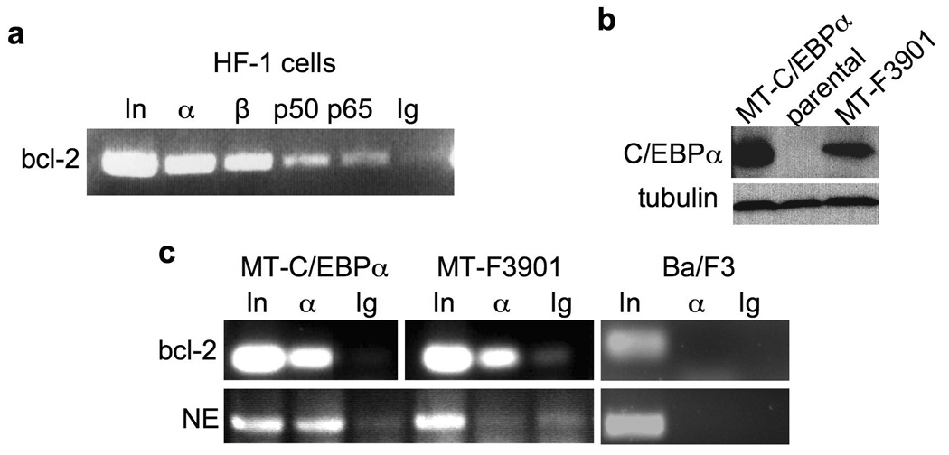 C/EBPα and a C/EBPαLZ oncoprotein bind the endogenous bcl-2 promoter ( a ) HF-1 cells were subjected to ChIP analysis using antisera against C/EBPα (α), C/EBPβ (β), NF-κB p50, NF-κB p65, or IgG control. PCR products were subjected to agarose gel electropheresis and visualized using ethidium bromide. In – input, 1% of DNA used for ChIP. ( b ) Total cellular proteins from Ba/F3 lines expressing the indicated MT-C/EBPα isoform or from parental cells were subjected to Western blotting using C/EBPα and β-tubulin antisera. ( c ) Ba/F3 cells expressing MT-C/EBPα or MT-F3901, or parental Ba/F3 cells, were cultured with zinc chloride for 16 hours and subjected to ChIP analysis. After immunoprecipitation with antiserum against C/EBPα (α) or rabbit IgG, the precipitated DNAs were subjected to PCR for the bcl-2 or neutrophil elastase (NE) promoters, as indicated. Data representative of 3 independent experiments is shown.