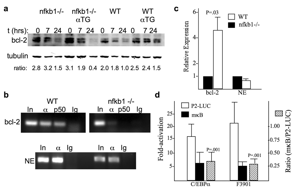 C/EBPα and a C/EBPαLZ oncoprotein depend on NF-κB p50 for binding to the bcl-2 promoter ( a ) Splenocytes from mice with the indicated genotype were exposed to 200 cGy and cultured for 0, 7, or 24 hours. Total cellular proteins extracts were obtained and subjected to Western blotting for bcl-2 and β-tubulin. The ratio of bcl-2:tubulin in each sample is shown. ( b ) Total bone marrow cells extracted from nfkb1 −/− or wild-type control mice were subjected to ChIP using C/EBPα (α) or NF-κB p50 (p50) antisera or IgG control and primers specific for the bcl-2 P2 or neutrophil elastase (NE) promoters. ( c ) RNA isolated from total bone marrow cells from the hind limbs of age, sex, and strain-matched nfkb1 −/− or wild-type (WT) mice were subjected to quantitative RT-PCR analysis of bcl-2 or NE expression, normalized to mS16. Relative mRNA expression between WT and nfkb1 −/− mice is shown, with expression in nfkb1 −/− marrow set to 1. Data from four comparisons are shown. ( d ) F9 cells were transiently co-transfected with 1.5 µg of P2-LUC or its variant harboring clustered point mutations in the −170 κB site (mκB), with 100 ng of CMV, CMV-C/EBPα, or CMV-F3901, and 5 with ng of CMV-β-galactosidase as an internal control. Activation of the wild type and mutant promoters by C/EBPα or F3901 was analyzed 48 after transfection. Fold-activation compared to the empty CMV vector was determined after adjustment for β-galactosidase activity. The mean of four independent experiments is presented. Also shown is the average ratio of P2-LUC:P2-LUCmκB induction by C/EBPα or F3901. The p-values shown compare these induction ratios to the null hypothesis value of 1.0.