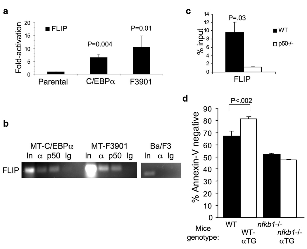 C/EBPα induces FLIP expression and binds its endogenous promoter ( a ) Parental Ba/F3 cells and lines expressing C/EBPα or C/EBPαF3901 from the MT promoter were cultured in zinc chloride for 16 hours and then withdrawn from IL-3. RNA was extracted 16 hours after IL-3 removal. FLIP transcripts were measured using quantitative RT-PCR and expressed as fold-activation compared with parental cells. ( b ) Ba/F3 MT-C/EBPα or MT-C/EBPαF3901 or parental Ba/F3 cells were cultured with zinc for 16 hours and subjected to ChIP using C/EBPα (α) or NF-κB p50 (p50) antisera or control rabbit IgG and primers corresponding to the FLIP promoter. Data representative of two independent experiments is shown. ( c ) Splenocytes from H2K-C/EBPα-Eµ transgenic (αTG) or nfkb1 −/−;αTG mice were subjected to ChIP using C/EBPα antiserum. Shown is the ratio of signal detected in the immunoprecipitate compared with input in three repetitions. ( d ) Single cell suspensions of splenocytes were obtained from mice with the indicated genotypes, stimulated with LPS for 30 hours and cultured with 200 ng/mL of soluble FasL for 16 hours. The cells were then stained with APC-Annexin V and PI. Shown are the percent of cells that were Annexin V-negative, all of which excluded PI (mean and SD from three experiments).