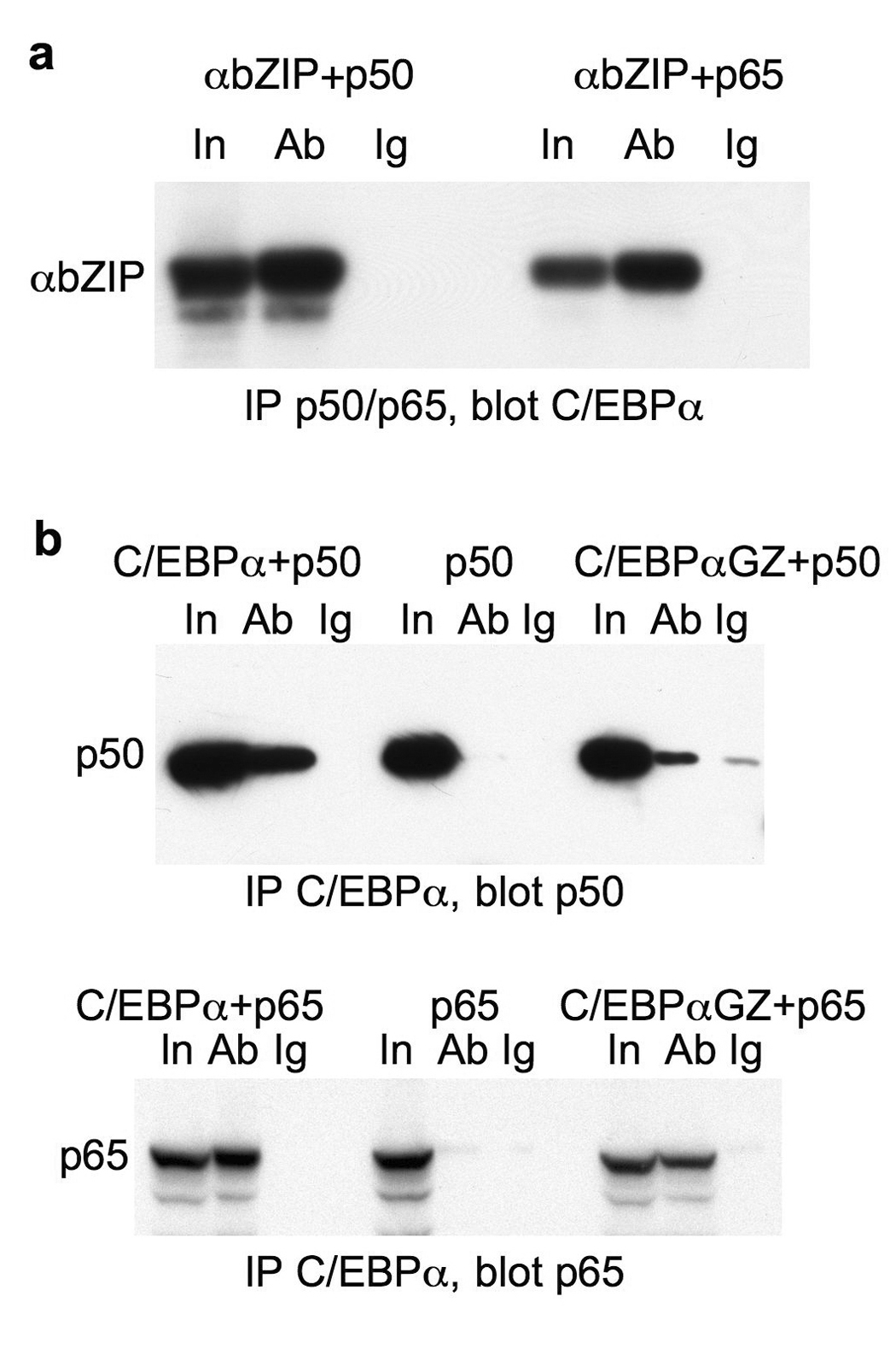 The C/EBPα basic region mediates its interaction with NF-κB p50 or p65 ( a ) 293T cells in 100 mm dishes were cotransfected with 2 µg CMV-C/EBPαbZIP and 2 µg of either CMV-NFκB p50 or CMV-NF-κB p65. Two days later, cells extracts were immunoprecipitated with p50 or p65 rabbit antisera (Ab) or rabbit IgG control (Ig) and immunoblotted with rabbit antiserum raised against the C/EBPα COOH-terminal sequence. ( b ) Extracts from cells transfected with CMV-C/EBPα or CMV-C/EBPαGZ and either CMV-NF-κB p50 or CMV-NF-κB p65 were immunoprecipitated with C/EBPα antiserum or rabbit IgG and immunoblotted with monoclonal p50 or p65 antibodies, as indicated (right and left panels). Extracts from cells transfected with p50 or p65 alone were assayed similarly as additional controls (center panel).