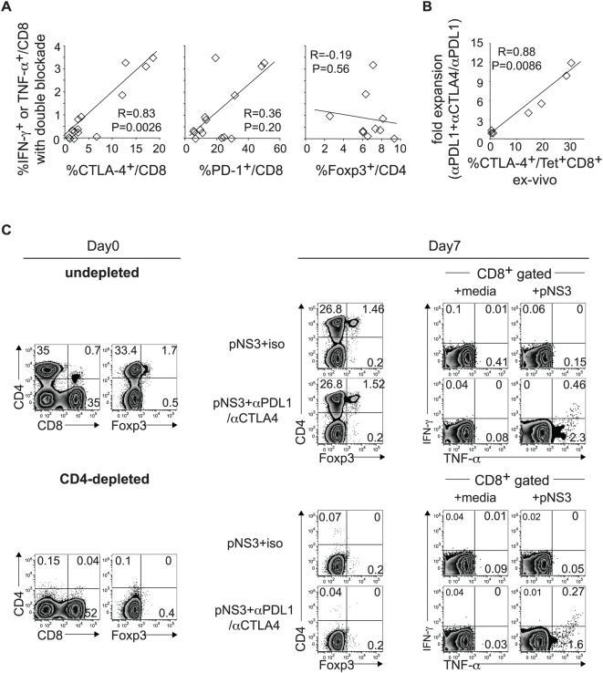 The functional response to PD-1/CTLA-4 blockade associate directly with CTLA-4 expression but not FoxP3 + Tregs. (A) Correlation between HCV specific effector cytokine response to combined PD-1/CTLA-4 blockade and ex vivo %CTLA-4 + /CD8 but not %PD-1 + /CD8 and %FoxP3 + <t>/CD4.</t> The y-axis represents the sum of CD8 T cells with HCV-specific IFN-γ + TNF-α + , IFN-γ + TNF-α − and IFN-γ − TNF-α + expression during combined PD-1/CTLA-4 blockade from 14 HLA-A2 − patients (6 intrahepatic and 8 peripheral blood responses). R and p-values by the Spearman rank correlation test. (B) Positive correlation between fold expansion of HCV-specific tetramer + CD8 T cells with combined PD-1/CTLA-4 blockade (relative to PD-1 blockade alone) and ex vivo %CTLA-4 + in HCV-specific tetramer+ CD8 T cells in 7 HLA A2+ HCV-infected patients. R- and p-values by the Spearman rank correlation test. (C) (Left) : Liver infiltrating lymphocytes from chronic patient C07 are examined for CD4, CD8 and FoxP3 + T cell subsets before (upper) and after (lower) depletion of CD4 T cells by CD4 <t>Dynabeads</t> (Dynal Inc), resulting in > 99% depletion of CD4 T cells including FoxP3 + CD4 T cells. (Right) : Undepleted and CD4-depleted liver infiltrating lymphocytes were cultured for 7 days with overlapping HCV NS3-derived 15mer peptides (pNS3) in the presence of isotype or blocking antibodies before direct staining for T cell subsets (CD4, FoxP3) and following additional 6 hours of stimulation with media alone (negative control) or pNS3 peptides to examine HCV-specific intracellular IFN-γ and TNF-α expression in CD8 T cells. Combined PD-1/CTLA-4 blockade promoted markedly enhanced HCV-specific cytokine response in undepleted and CD4-depleted cultures regardless of FoxP3 + Tregs.
