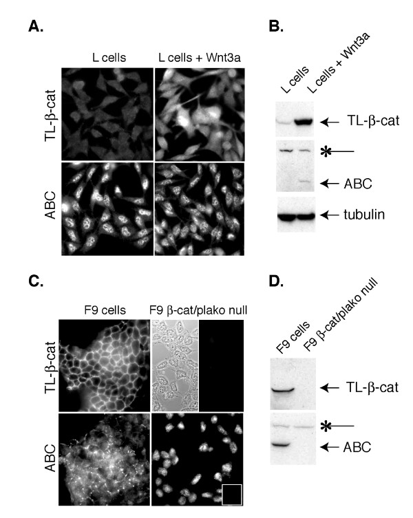 Nuclear staining associated with mAb 8E7 is observed in <t>β-catenin</t> null cells . A B : Mouse L cell fibroblasts +/- Wnt3a A . Immunofluorescence staining of total (TL-) β-catenin (mAb clone 14, BD Biosciences) and ABC in mouse L cells stably expressing Wnt3a (right) or an empty vector (left). Note prominent nuclear staining in both Wnt3a expressing and non-expressing cells using 8E7 mAb. Exposure times for TL-β-catenin and ABC images are 1313 and 1439 milliseconds, respectively. B . Corresponding immuno-blot. Note that 8E7 detects non-specific band at ~160 kDa (*). C D : WT and β-catenin/plakoglobin null F9 teratocarcinoma cells immunostained with antibodies that recognize TL- and ABC. C . The split panel (upper right) shows the presence of β-catenin/plakoglobin null F9 cells on the coverslip (phase) that are not stained with the TL-β-catenin antibody, but show a diffuse cytoplasmic/nuclear stain with mAb 8E7 (lower right). Inset shows the GAM secondary antibody control. Exposure times for TL-β-catenin and ABC images are 228 and 453 milliseconds, respectively. D . Corresponding immunoblot shows that 8E7 detects a non-specific band at ~160 kDa in F9 cells (*). It is unclear whether this non-specific band contributes to background nuclear staining.