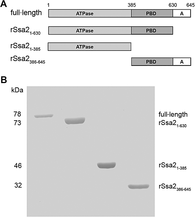 Expression and purification of full-length and truncated Ssa2 proteins. A. Schematic representation of the domain structure of Candida albicans Ssa2p and the design for truncated Ssa2 proteins. B. Each purified recombinant protein obtained from a yeast expression system (1 μg) was subjected to 10% SDS-PAGE and Coomassie blue-stained to visualize C. albicans full-length, rSsa2 1−630 , rSsa2 1−385 , rSsa2 386−645 proteins.