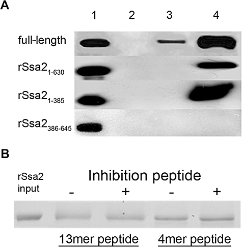 ATPase domain of Ssa2 is necessary for complex formation with BHst 5. A. Purified full length, rSsa2 1−630 , rSsa2 1−385 or rSsa2 386−645 (input) were incubated with Biotin-Hst 5 (BHst 5) for 2 h at 4°C with or without the presence of cross-linker to allow complex formation, and Streptavidin-agarose (SA) beads were added to the mixture. Resulting complexes were isolated by centrifugation of the SA beads and washed to remove non-specifically bound proteins. Recovered protein complexes were subjected to SDS-PAGE and detected by Western blotting with anti-Xpress-HRP monoclonal antibody and enhanced chemiluminescence (ECL). Lane 1: 10% of input Ssa2 proteins; lane 2: negative control, pull-down Ssa2 proteins without BHst 5; lane 3: pull-down Ssa2 proteins with BHst 5 without cross-linker; lane 4: pull-down Ssa2 proteins by BHst 5 with cross-linker . Complex formation was detected only with proteins containing the ATPase domain. B. A six fold molar excess of Ssa2p C-terminal anchor domain peptide 13mer (EPSNDGPTVEEVD) or 4mer (EEVD) was pre-incubated with BHst 5 for 30 min at 4°C prior to addition of full-length rSsa2p for the pull-down assay described in (A). No inhibition of interactions between Ssa2p and Hst 5 was observed with either peptide (+) compared with Hst 5 and Ssa2p alone (−).