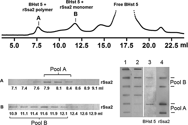 BHst 5 co-elutes with rSsa2p. Purified rSsa2p (5 μM) was mixed with excess BHst 5 (100 μM) for 30 min before loading onto Superose column. Fractions were collected (top) and subjected to 7.5% SDS-PAGE and silver-stained to detect rSsa2p (bottom left). rSsa2p polymer peak and monomer peak fractions were pooled to generate pool A (∼640 μl) and pool B (∼1300 μl) respectively. Both co-eluted BHst 5 and rSsa2 proteins from each pool were quantified by slot blot with corresponding linear loading standards (bottom right). Two slots of each pool were loaded (lane 4) corresponding to 25% and 5% of total volume in order to be within the linear range for quantification. Lane 1: rSsa2p loading standards (300, 150, 75, 37.5, 18.8, 9.4, 4.7 ng); lane 2: BHst 5 loading standards: (125, 100, 50, 25, 12.5, 6.3 ng); lane 3: BHst 5 co-eluted in pool A or pool B was quantified following detection by Streptavidin-HRP antibody; lane 4: quantification of rSsa2p was performed on the same membrane after being stripped and re-probed with Anti-Xpress antibody to detect rSsa2p. Co-eluted BHst 5 and rSsa2p under nucleotide treatment conditions were similarly quantified.