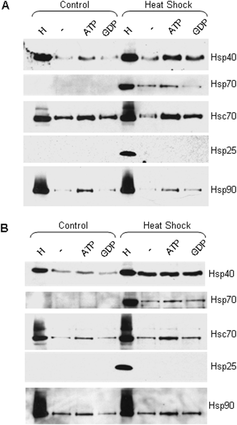 Western analysis showing the association of Hsp40 with CSPα 1-112 and CSPα 1-198 before and after heat shock. (A B) CAD cells were heat shocked for 30 minutes at 42°C and allowed to recover for 5 hours. GST fusion proteins of (A) CSPα 1-112 and (B) CSPα 1-198 were immobilized on glutathione-sepharose and incubated in the presence of 110 µg of control or heat shocked CAD cell homogenate in the presence or absence of 2 mM ATP or GDP. The lane indicated as (H) is 40 µg of cell homogenate loaded directly on the gel. The beads were washed and bound proteins were eluted in sample buffer, fractionated by SDS-PAGE and subjected to Western blot analysis. Hsp70, Hsc70, Hsp25, Hsp40, and Hsp90 were detected by Western analysis.
