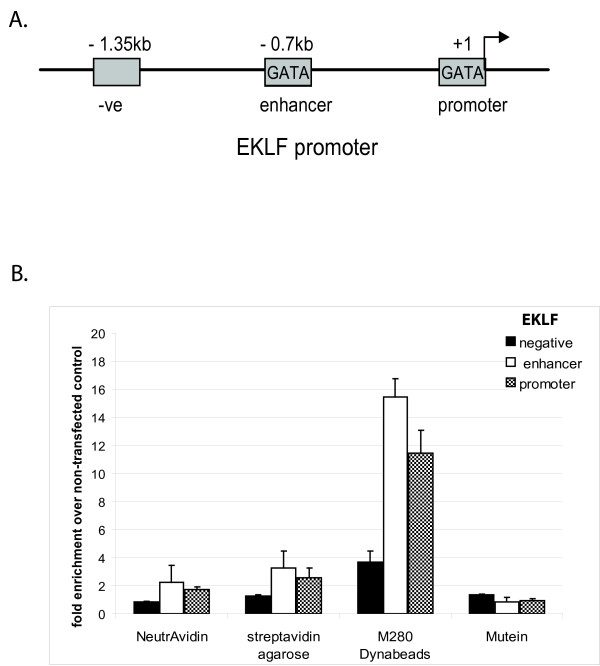 A) Location of the ChIP primers in the EKLF gene .