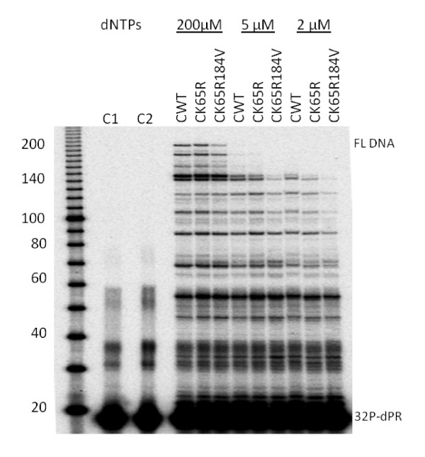dNTP concentration dependence of single-cycle processivity of WT and mutant RTs . The DNA primer dPR was 5'-end labeled with [γ- 32 P]ATP and annealed to HIV PBS RNA. Extension was performed using a heparin trap and equivalent amounts of recombinant RTs at three different dNTP concentrations: 200 μM, 5 μM, and 2 μM. The sizes of some fragments of the 32 P-labeled 10 bp DNA ladder (Invitrogen) in nucleotide bases are shown on the left. Positions of 32 P-labeled dPR primer ( 32 P-dPR) and full-length extension product (FL DNA) are indicated on the right.