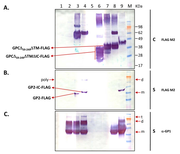 Intracellular and secreted forms of LASV GP2 variants and co-transfections with sGP1 in HEK-293T/17 cells . Cell extracts and supernatants from HEK-293T/17 transfected with LASV GP2 variants or from co-transfections with sGP1 were analyzed for the expression and secretion of GP1 and GP2. Ten micrograms of transfected cell protein were resolved on SDS-PAGE gels, blotted onto nitrocellulose membranes and probed with anti-LASV GP2 (panel A) or GP1 mAbs (panel B). Similarly, twenty μL of supernatant from each transfection were resolved on SDS-PAGE gels, blotted, and probed with the same anti-GP2 (panel C) and anti-GP1 mAbs (panel D). Control plasmid pcDNA3.1(+):intA (lane 1) was transfected alongside constructs sGP2-h HC (lanes 2), sGP2-hλLC (lanes 3), and sGP2-GPC SP (lane 4). The sGP2 constructs were co-transfected in the same order in lanes 5, 6, and 7 with equimolar amounts sGP1 expression plasmid. A transfection with sGP1 construct is shown in lane 8. Molecular weight markers with sizes (kDa) are shown to the left of the panel. Panels showing expression profile from cell extracts (C) and supernatants (S) are demarcated by vertical lines, along with the respective anti-LASV mAb probes. The co-transfection profiles with GP1 and GP2 constructs are indicated by (-) and (+) symbols at the bottom of the figure.