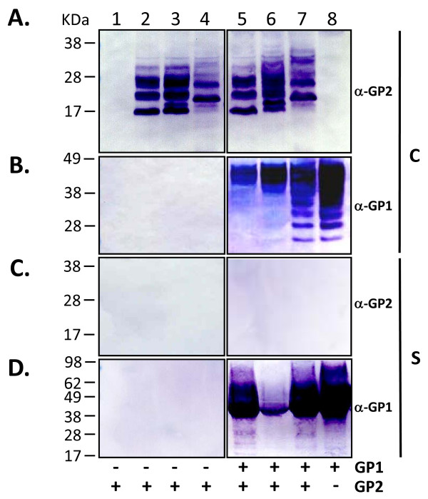 Expression and secretion of sGP2 from LASV GPC deletion variants . Cell extracts and supernatants from HEK-293T/17 transfected with LASV GPC deletion variants were analyzed for the expression and secretion of GP1 and GP2 proteins. Ten micrograms of total protein from transfected cells were resolved on SDS-PAGE gels, blotted onto nitrocellulose membranes and probed with FLAG M2 mAb (A). Twenty μL of supernatant from the corresponding samples were similarly resolved, blotted, and probed with FLAG M2 mAb (B) or anti-LASV GP1 mAbs (C). (Lane 1) control plasmid pcDNA3.1(+):intA, (lane 2) GPCΔTMΔIC, (lane 3) GPCΔTMΔIC-FLAG, (lane 4) GPCΔTM-FLAG, (lane 5) GPCΔ 59–249 ΔTMΔIC, (lane 6) GPCΔ 59–249 ΔTMΔIC-FLAG, (lane 7) GPCΔ 59–249 ΔTM-FLAG, (lane 8) GPC-FLAG, (lane 9) sGP1-FLAG. SeeBlue ® Plus2 pre-stained molecular weight markers (M), with sizes (kDa) are shown to the right of the panel. Designations for the constructs that generated the intracellular expression pattern in lanes 6A and 7A are displayed to the left of panel A. Similarly, designations that generated the secreted expression pattern in lanes 3B and 4B are displayed to the left of panel B. Positions of monomer (m), dimer (d), and trimer (t) forms of the GP1 protein are indicated by arrows. Similarly, the position of monomeric (m) and dimerized (d) forms of sGP1 (right), and polyprotein (poly) species consisting of sGP1+sGP2 (left) in panel B are indicated by arrows.