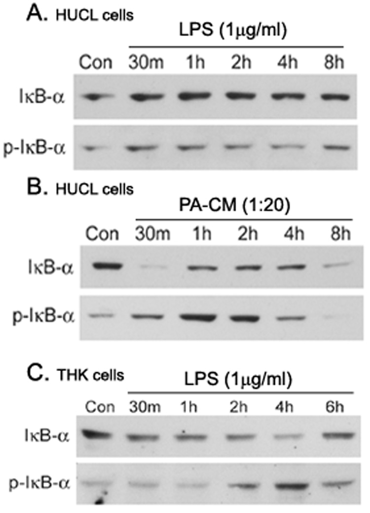 LPS stimulated IκB-α phosphorylation and degradation in THK, but not HUCL cells HUCL ( A) or THK ( B ) cells were stimulated with phenol-extracted LPS (1 µg/ml) for the indicated times. As a positive control, HUCL cells were also treated with 5% supplemented P. aeruginosa -conditioned medium (PA-CM) in KBM or KBM alone (Con). Total protein was extracted, and 20 µg of protein were subjected to SDS-PAGE followed by phospho-IκB-α (p-IκB-α) and IκB-α immunoblotting using a chemiluminescence technique. The results are representative of two independent experiments.