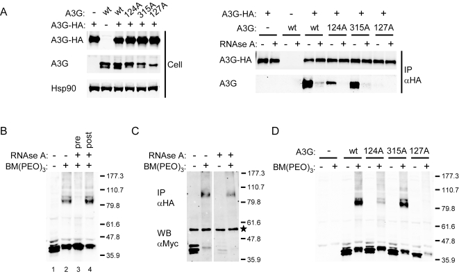 Oligomerization of wild type and mutant A3G proteins. (A) Co-immunoprecipitation of wild type and mutant A3G with HA-tagged wild type A3G (A3G-HA). Immunoblots on the left show whole cell expression of A3G, A3G-HA, and the cellular control protein Hsp90. On the right, blots show A3G and A3G-HA in the immunoprecipitate, with or without RNase A treatment. (B) Immunoblot showing A3G after chemical crosslinking with BM(PEO) 3 in the lysate of transfected 293T cells. Lane 1, untreated control; lane 2, BM(PEO) 3 treated; lane 3, BM(PEO) 3 treated after incubation with RNase A; lane 4, BM(PEO) 3 treated before incubation with RNase A. Relative molecular mass markers (in kD) are indicated on the right. (C) Immunoblot showing the immunoprecipitation of myc-tagged A3G (A3G-myc) with A3G-HA, with or without BM(PEO) 3 and subsequent RNase A treatment. Samples were immunoprecipitated with anti-HA antibody, and immoblots were probed with the anti-myc antibody. An asterisk indicates the position of a band generated by crossreactivity to the heavy chain of the 3F10 antibody used for immunoprecipitation. (D) Immunoblot showing the effect of BM(PEO) 3 treatment on wild type and mutant A3G in the lysates of transfected 293T cells. The control sample transfected with the empty vector is indicated by -.