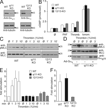 The role of G q /G 11 and G 12 /G 13 in the regulation of NO production and MLC phosphorylation in pulmonary ECs. (A) Lysates of pulmonary ECs prepared from WT, Gnaq flox/flox ; Gna11 −/− (q/11-KO), or Gna12 −/− ; Gna13 flox/flox (12/13-KO) mice were infected with Cre-transducing adenovirus and were analyzed by Western blotting with antibodies directed against Gα q /Gα 11 , Gα 13 , or α-tubulin. Arrowheads indicate the position of the 43-kD marker protein. The presented data are representative of at least five experiments performed with samples from different animals. (B) WT Gα q /Gα 11 -deficient (q/11-KO) and Gα 12 /Gα 13 -deficient (12/13-KO) ECs were incubated without and with 1 U/ml thrombin (thromb.), 100 nM PAF, or 100 nM ionomycin (ionom.), and NO bioavailability was assessed in a transfer bioassay by determining cGMP production in detector RFL6 fibroblasts by radioimmunoassay. Shown are the results of three separate experiments (mean values ± SEM). (C–E) WT, Gα q /Gα 11 - (q/11-KO), and Gα 12 /Gα 13 -deficient (12/13-KO) ECs were incubated in the absence or presence of 1 U/ml thrombin for 1, 3, or 10 min, and the amount of phosphorylated MLC (pMLC) was determined using a phosphorylation site-specific antibody (see Materials and methods). Where indicated (Ad-Gα q +), cells had been transfected with Gα q using an adenoviral transfection system. Shown are representative Western blots of cell lysates using the indicated antibodies (C and D) and the results of the densitometric evaluation of three independently performed experiments (E). Shown are mean values ± SEM. Arrowheads indicate the position of the 25- or 43-kD (D, bottom) marker proteins. (F) Effect of 1 U/ml thrombin on RhoA activity in WT, Gα q /Gα 11 -deficient (q/11-KO), and Gα 12 /Gα 13 -deficient lung ECs (12/13-KO). Data are from three independently performed experiments (mean values ± SD).