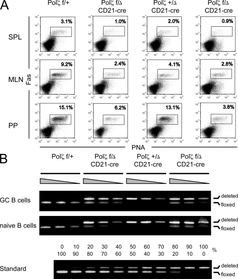 GC formation in Polζ f/Δ /CD21-cre mice. (A) Generation of GC B cells. Mice were immunized with 100 µg NP-CG in alum and analyzed for the presence of CD19 + PNA + Fas + GC B cells 14 d after immunization. Only CD19 + cells are shown. SPL, spleen; PP, Peyer's patches; MLN, mesenteric lymph nodes. Data represent one of two independent experiments. (B) Deletion efficiency of the Polζ f allele. The Polζ f and Polζ Δ alleles in B cells of Polζ f/Δ /CD21-cre and control mice were amplified in a competitive PCR using primers that anneal 5′, within, and 3′ of the floxed region and compared with a standard with known ratios of the two alleles. The fragments corresponding to the floxed and deleted allele migrate at around 300 and 450 bp, respectively.