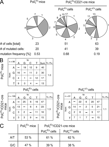 Single cell analysis of SHM in Polζ f/Δ /CD21-cre mice. (A) Distribution of mutations per B cell and mutation frequency in Polζ -deficient and Polζ -proficient B cells. Single GC B cells were sorted by FACS 14 d after immunization with NP-CG. PCR fragments containing the introns downstream of the rearranged V(D)J elements were amplified in a seminested PCR and subsequently sequenced. Simultaneously, the single cells were genotyped for the presence of the Polζ f allele. The mutation frequency was determined by the number of mutations present in the sequence of 500 bp, downstream of the individual VDJ rearrangement. (B) To compare the patterns of mutations of Polζ-deficient and -proficient cells, sequences derived from B cells using the same rearranged J H element were grouped together and the mutations in each group were counted. The emerging mutation pattern in each group was corrected for the base composition of that particular intron before the patterns of the four J H introns were compiled together. All values are shown in percentages and were rounded to the nearest whole number. n = the number of mutations; Tr./Tv., the transitions (Tr.) over transversions (Tv.) ratio. Shown are the combined mutation patterns corrected for the base composition of the sequences. (C) Percentage of mutations at A-T versus C-G basepairs in the same analysis.