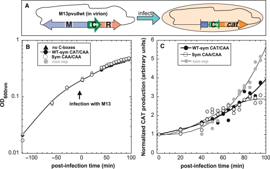 In vivo effects of C-box O L spacer variants on temporal expression of C.PvuII. ( A ) Diagram of experiment. Four E. coli TOP10' cultures carrying plasmids with different O L spacers fused to a cat (chloramphenicol acetyltransferase) promotorless reporter gene were infected with recombinant M13pvuIIwt phage at MOI = 15. We used three spacer variants tested previously in this study: WT-Sym (CAT/CAA; pDK178; closed circles), CAA/CAA (pIM22; open circles) and nonrepressing WT-Sym (box 2B mutated, pWWWR; gray circles) as a control. The first two variants have identical, symmetrized C-boxes sequences, and differ only at a single nt in O R . A plasmid with no C-box sequence (pKK-238; triangles) was also tested and gave only background levels of cat expression (shown in Figure S6). ( B ) Growth was monitored at OD 600 nm before and after phage addition. ( C ) CAT production over infection time for two independently performed experiments was measured by sensitive colorimetric assay based on ELISA sandwich method (see 'Materials and methods' section). CAT production data were normalized to the value for each strain prior to infection. Curves were fitted and statistical analysis was performed using the SAS package (SAS Institute Inc., Cary, NC). The analysis of covariance indicated significant difference of slopes over time with P