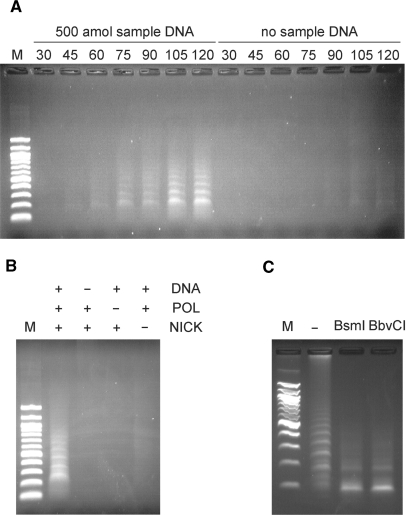 Endpoint product analysis of PG–RCA. ( A ) Endpoint products in the presence or absence of 500 amol sample DNA were analyzed on 1.0% agarose gel electrophoresis. The reaction was conducted at 60°C for 30, 45, 60, 75, 90, 105 and 120 min and each reaction was analyzed separately. Lane M was loaded with a 100 bp DNA marker (100, 200, 300, 400, 500/517, 600, 700, 800, 900, 1000, 1200 and 1517 bp from the bottom). ( B ) Endpoint products of 90-min reactions with all or partial reaction components were analyzed on 1.0% agarose gel electrophoresis. DNA, POL and NICK indicate sample DNA, Vent (exo-) DNA polymerase and Nb.BsmI, respectively. Lane M is a 100 bp DNA marker. ( C ) Endpoint product of a 120-min PG–RCA reaction was digested with either BsmI or BbvCI and analyzed on 1.5% agarose gel electrophoresis. Lane '-' was loaded with the 120 min reaction product before restriction enzyme digestion. Lane M is a 100 bp DNA marker.