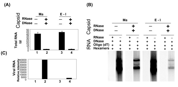 Analysis of RNA in HAV5.EGFP capsids with or without RNase/DNase treatment . (A) Total yields of RNAs isolated from mature and empty/intermediate capsids with or without RNase/DNase treatment. (B) The [ 32 P]-labeled cDNAs were made by reverse transcription of 2 μg, RNase-free DNase treated RNAs from mature and empty/intermediate capsids with or without RNase/DNase treatment and hybridized to Hind III-digested pFHAV5, which contains E1A-deleted HAdV-5 genome. RT was primed by oligo-dT/hexamers. (C) Viral RNAs detected in RNAs from mature (Ma) and empty/intermediate (E-I) capsids after RNase/DNase treatment in Southern hybridization in panel B were quantitated by using PhosphorImager software.