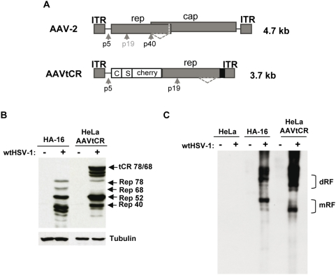Characterization of the HeLaAAVtCR cell clone. (A) Schematic representation of the wt AAV-2 genome and of the AAVtCR derivative. In the AAVtCR construct the rep gene is fused at its N-terminus with a sequence coding for the calmodulin and <t>streptavidin</t> binding peptides (C and S) and the fluorescent mCherry protein. p5, p19, and p40 are the AAV promoters and the dotted line indicates the alternative splicing in the rep gene. The black box indicates the BGH polyA. (B) Synthesis of Rep proteins in HSV-1-infected HeLaAAVtCR and HA-16 cells. The cells were infected or not with wt HSV-1 at a multiplicity of infection (MOI) of 5 plaque forming units (pfu)/cell and analyzed for the synthesis of Rep proteins by Western blot. tCR indicates the tagCherryRep78 and 68 proteins. (C) Analysis of AVVtCR genome rescue and replication. Replication was assessed by Southern blot using a rep probe. mRF and dRF indicate the monomeric and dimeric replicative forms, respectively.