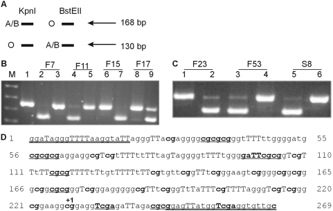 Loss of A expression by RT-PCR and restriction enzyme digestion. (A) Schematic representation of ABO allelic expression analysis. Kpn I digestion results in a 130 bp band if the O allele is present and no digestion of the A or B allele. BstE II digestion results in a 130 bp band if the A or B allele is present and no digestion of the O allele. (B) Lane M is the pUC19/ Hpa II marker while lane 1 is the uncut ABO RT-PCR product. Lanes 2, 4, 6 and 8 are digested with Kpn I while lanes 3, 5, 7 and 9 are digested with BstE II. Lanes 2 and 3 are from cDNA of patient F7, lanes 4 and 5 from F11, lanes 6 and 7 from F15 and lanes 8 and 9 from F17. F7 and F11 are AO patients with loss of the A allele, F17 is an AO patient with no loss of ABO allelic expression. Patient F15 has an A 1 A 2 genotype, hence no cutting with Kpn I was expected. (C) Lanes 1, 3 and 5 are ABO RT-PCR product digested with Kpn I while lanes 2, 4 and 6 are digests with BstE II. Lanes 1 and 2 are from cDNA of patient F23, an A 2 B genotype, hence no cutting with Kpn I was expected. Lanes 3 and 4 are F53, an A 1 O 1 patient with loss of A at the mRNA level. Lanes 5 and 6 are S8, which is a patient with an A 1 O 1 genotype with loss of A allelic expression. (D) The ABO CpG island promoter region assessed for methylation. The methylated and bisulfite modified sequence is shown and the primer sequences are double underlined. The capital Ts identify thymines that are a result of bisulfite modification of cytosines and the CpGs are shown in bold. The start of transcription is marked with +1. The different restriction enzymes used for assessing methylation by digestion are as follows: eight BstU I sites ( cg/cg ), two Taq I ( T/cga ) sites (however one is found in the primer and hence will cut regardless of methylation status), one Hinf I ( g/aTTc ) site. Regions 161–173 and 198–210 harbor Sp1 sites [55] .