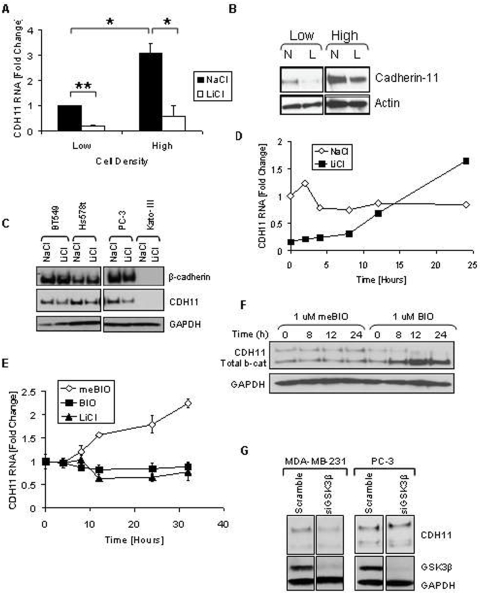 Density increases cadherin-11 and GSK3β inhibitors decrease cadherin-11 expression. A and B: MDA-MB-231 cells were plated at two densities, 50% and 90% confluency, called low and high, respectively. The cells were allowed to grow overnight in serum-free medium. 24 hours after plating cells were treated with 20 mM NaCl (N) or 20 mM LiCl (L). 24 hours after treatment, RNA and protein were collected for real-time PCR (A) and Western (B) analysis. C: Cancer cells BT549, Hs578T, PC-3, and Kato-III were plated at a medium density and allowed to adhere. Cells were then treated with 20 mM LiCl or NaCl control. 48 hours after transfection protein was collected for Western blot analysis. D: MDA-MB-231 cells were plated at a medium density, serum starved overnight, and treated with 20 mM NaCl or 20 mM LiCl. 24 hours after treatment, the cells were washed once with PBS and maintained in serum-free medium containing only 20 mM NaCl. RNA was collected at the times indicated for real-time PCR analysis. E and F: MDA-MB-231 cells were plated at a medium density and serum starved overnight. 16 hours after plating, the cells were treated with 1 μM meBIO (control), 1 μM BIO, or 20 mM LiCl. RNA (E) or protein (F) was collected at the designated times and analyzed using real-time PCR (E) and Western blot analysis (F). G: MDA-MB-231 and PC-3 cells were transfected with either non-specific scrambled siRNA (siScramble), or siRNA directed against GSK3β (si GSK3). 48 hours after transfection protein was isolated for Western blot analysis.