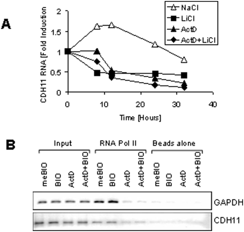 Transcriptional mechanism of cadherin-11 regulation. A: MDA-MB-231 cells were grown at a medium density for 16 hours in the absence of serum. The cells were then pretreated with 5 μg/ml actinomycin D or an equivalent volume of ethanol (untreated). 30 minutes later the cells were treated with either 20 mM NaCl (control) or LiCl. At the indicated time points, RNA and protein were collect for real-time PCR analysis. B: MDA-MB-231 cells were treated with 20 mM NaCl or LiCl for 24 hours. Genomic DNA was then harvested for RNA polymerase II ChIP analysis followed by PCR specific to GAPDH and cadherin-11.