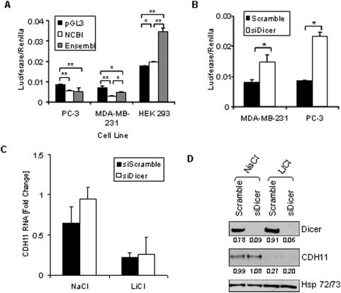 The stabilizing and destabilizing effects of the cadherin-11 3′UTR. A: PC-3, MDA-MB-231, and HEK 293 cells were transfected with pGL3-Promoter, pGL3-CDH11-3′UTR NCBI, or pGL3-CDH11-3′UTR Ensembl and pCMV-Renilla. 48 hours after transfection, cells were lysed using passive lysis buffer and luciferase activity was analyzed. (* indicates a p-value > 0.01; ** indicates a p-value > 0.001) B: MDA-MB-231 and PC-3 cells were transfected with pGL3-CDH11 3′-UTR and pCMV-Renilla along with either non-specfic siRNA (siScramble) or siRNA directed against Dicer (siDicer). 48 hours after transfection, cells were lysed using passive lysis buffer and luciferase activity was analyzed. (* indicates a p-value > 0.05) C and D: MDA-MB-231 cells were transfected with non-specific siRNA (siScramble), or siRNA directed against Dicer (si Dicer). Cells were collected for real-time PCR (C) and Western blot (D) analysis 72 hours after transfection.