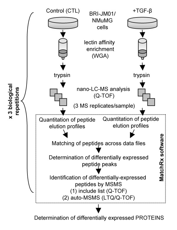 Schematic of the lectin affinity workflow . Immobilized wheat germ agglutinin was used to enrich glycosylated proteins from BRI-JM01 and NMuMg cells with or without the induction of EMT by <t>TGF-β.</t> Peptides in the WGA eluant were then quantified from <t>nano-LC-MS</t> data using a software package developed in-house, MatchRx, to identify differentially-expressed peptides.